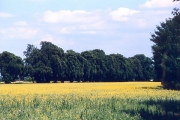 Oilseed rape field near Boveney Lock, Surrey
