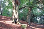 Over Alderley - beech woods on Alderley Edge