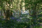 Bluebells in Waresley woods