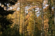 Larch trees in Park Plantation