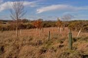 Replanted wood near Flemington Farm