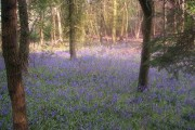 Bluebells in College Wood, near Nash