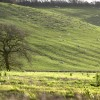 Sheep grazing on the Escarpment behind Ilbury Farm