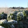 Frosted Veg