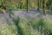 Bluebells in Tupton Wood