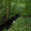 Clattercotes Wood Bluebells and Wild Garlic