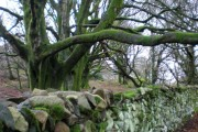 Ancient woodland.