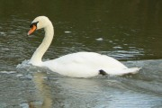 Mute swan (cob?) on the River Windrush