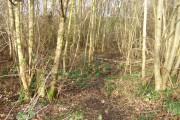 Osierbed Wood