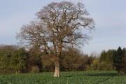 Oak in farmland at Westcot