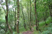 Birches in Forest Wood