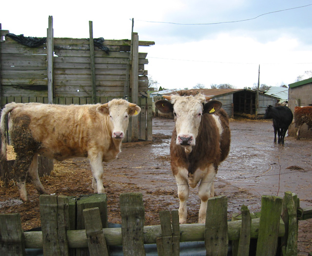 Cows at  Rope Farm, near Shavington