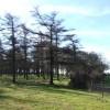 Larches at edge of Peekhill Plantation
