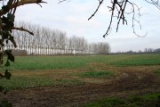 Poplar windbreak near Barming station