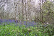 Bluebells at Trevarno