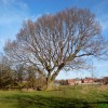 Longton Tree