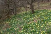 Daffodils in Kinnoull Woods