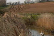 Swan with ploughed furrows