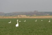 Swans grazing in front of WW2 fortification