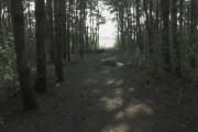 Conifer woodland south of Hilton