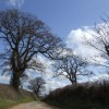 Oaks by the lane to Primmore Corner