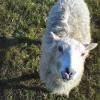 Shetland Sheep in Keysoe