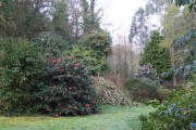 Camellias at Bojorrow