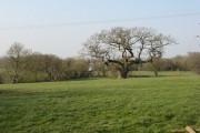 Old oak, Ledicot