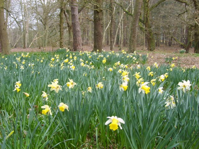 Daffodils in the grounds of The Lodge, Sandy