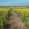 Footpath through fields of gold