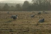 Sheep, North Newnton
