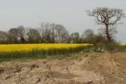 Field of rape