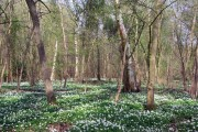 Wood Anemones in Garnetts Wood