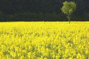 Oil-seed rape and a small tree near Whitchurch