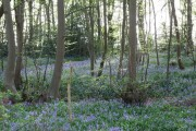 Bluebells in Harmergreen Wood