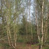 Birches in Fenn's Wood