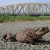 Caution, Toad Crossing