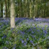 Bluebells in Woodland near Normanton Screed