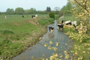 Cows drinking from a drainage ditch