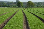 Salad production, Manningford Bohune