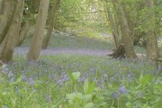 Bluebells in Greyfield Woods