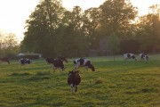 Cattle, Mapledurham