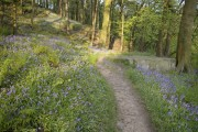 Bluebells in Foster Wood, Colden Clough Local Nature Reserve