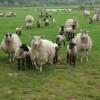 Sheep and Lambs at Sapperton