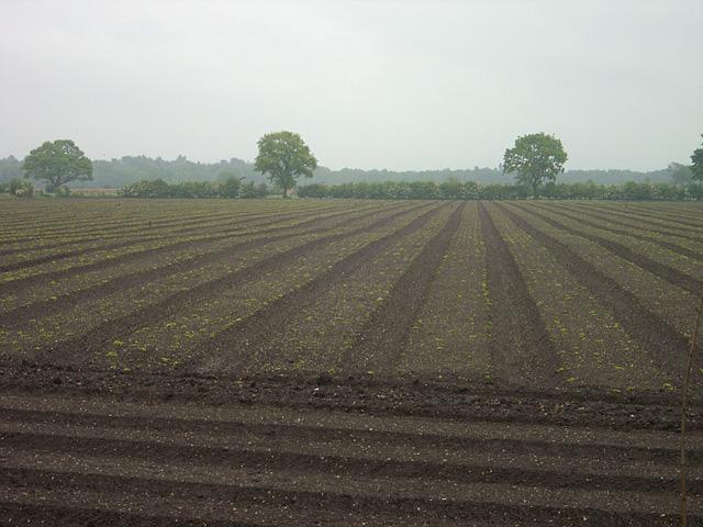 Vegetable farming at Kirkstead, Woodhall Spa