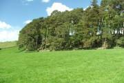 Scots Pine Wood.