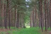Pines near Conford