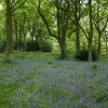 Bluebells, Old Spring Wood