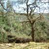 Strontian Glen oakwood