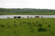 Gadloch Cattle